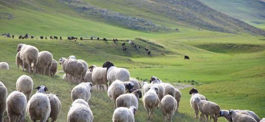2020 онд Монгол улсад 67,1 сая малын 44,64% нь хонь, байгалийн цэвэр, байнга нөхөн сэргээгддэг түүхий эд