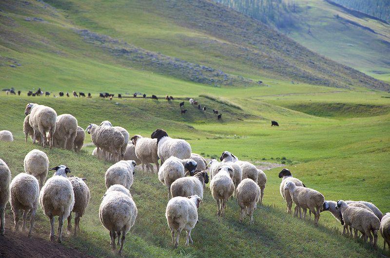 Im Jahr 2020 werden 44,64% der 67,1 Millionen Tiere in der Mongolei Schafe sein, ökologisch und umweltfreundlich, 100% regenerativ.